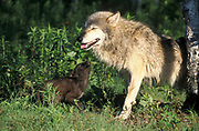 Timber or Grey Wolf, Canis Lupus,  Minnesota USA, controlled situation, female with young cubs,