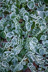 Hoar frost on American Land cress. Barbarea verna