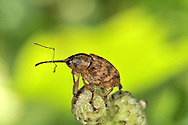 Acorn Weevil - Curculio glandium