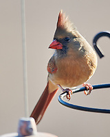 Northern Cardinal (Cardinalis cardinalis). Image taken with a Nikon D800 camera and 600 mm f/4 VR lens.