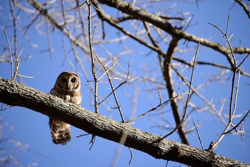 Barred Owl in Percy Warner Park, Nashville, TN