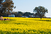 Farm buildings  and trees in field of flowering canola crop in rural country Victoria, Australia. <br />