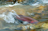 Lahontan Cutthroat Trout<br /> <br /> Patrick Clayton/Engbretson Underwater Photography
