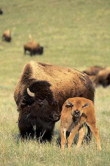 Bison, (Bison bison) Cow and calf. Yellowstone National Park.