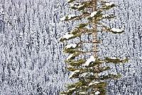 A lone Noble Fir stands isolated against a snowcovered coniferous forest slope near White Pass, Cascade Mountain Range, Wenatchee National Forest, WA, USA