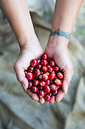 Laurie Obra, the owner of Rusty's Hawaiian Coffee,  holding a hand full of freshly picked coffee beans, known as cherry, and at her coffee farm in an area called Cloud Rest in the district of Ka'u on the Big Island of Hawaii, USA, America