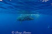 Bryde's whale, Balaenoptera brydei or Balaenoptera edeni, feeding on baitball of sardines, Sardinops sagax, off Baja California, Mexico ( Eastern Pacific Ocean ); #3 in sequence of 6