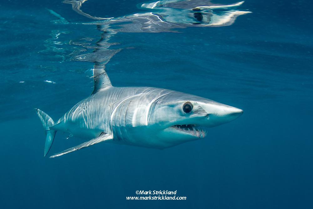 Shortfin Mako Shark, Isurus oxyrinchus, Long Beach, California, Pacific Ocean