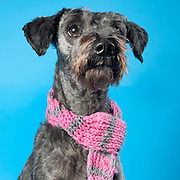 Schnauzer or a Snoodle dog gets a grooming to go home at the Sacramento city animal shelter.