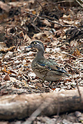 Female wood duck in woodland habitat