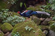 Swinhoes pheasant male, Lophura swinhoii, endemic, Yunlinshan, Taiwan