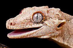 © under license to London News Pictures. 23/09/12. A Gargoyle Gecko. Animals appear to pose for their portrait as part of a photo session in Macro photography at Park Farm in the heart of Knowsley Safari Park in Merseyside. Photo credit should read IAN SCHOFIELD/LNP