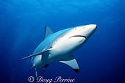 blacktip shark, Carcharhinus limbatus, Bahamas ( Western Atlantic Ocean )