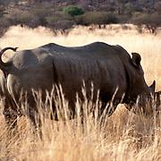 Krugerparken 2002 07 Syd Afrika<br /> Noshörning<br /> <br /> <br /> FOTO JOACHIM NYWALL KOD0708840825<br /> COPYRIGHT JOACHIMNYWALL:SE<br /> <br /> ****BETALBILD****<br />  <br /> Redovisas till: Joachim Nywall<br /> Strandgatan 30<br /> 461 31 Trollhättan<br />  Prislista: BLF, om ej annat avtalats