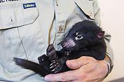 Tasmanian Devil<br /> Sarcophilus harrisii<br /> Wade Anthony, Managing Director of Devils at Cradle, holding four-month old baby devil <br /> Devils at Cradle, Cradle Mountain National Park, Tasmania, Australia<br /> *Captive- captive breeding program