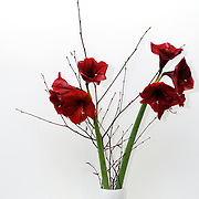 vase of red flowers with white background