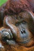A portrait of a dominant male orangutan (Pongo pygmaeus) thoughtfully resting his big cheek flap on his hand, Borneo, Indonesia