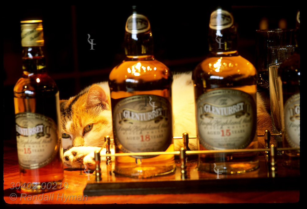 Bottles of Glenturret sit in gift shop as Amber the official distillery cat lounges; Crieff. Scotland