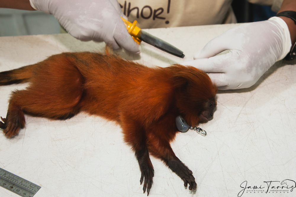 A tranquilized golden lion tamarin (Leontopithecus rosalia) is gently being equipped with a new radio collar by a research biologist during a study in the lab ,Brasil, South America