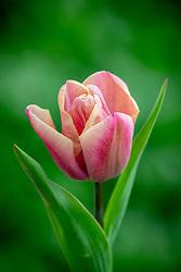 Tulipa 'Holland Beauty'
