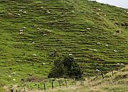 "Sheep trails on a steep hillside, on the Stratford to Taumarunui ""Forgotten World Highway"", North Island, New Zealand"