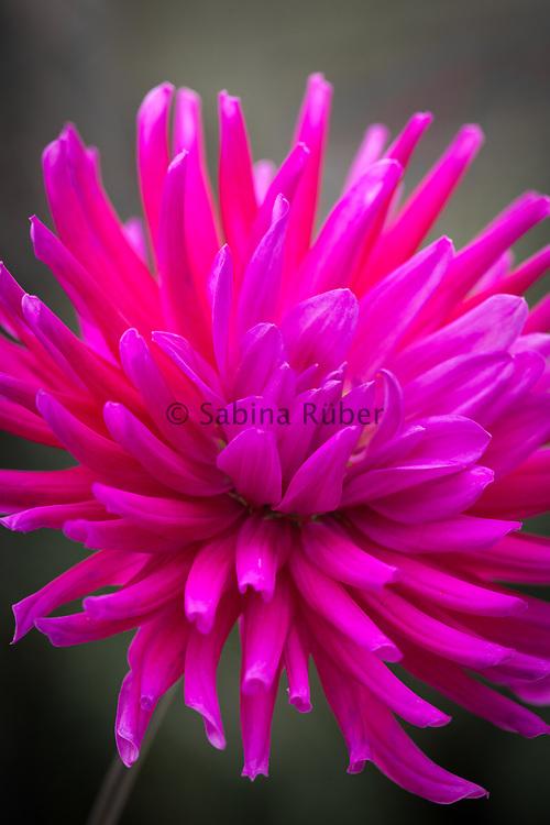 Dahlia 'Purple Gem' - semi-cactus dahlia
