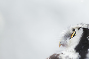 A portrait of hawk owl (Surnia ulula) moments after ringing, Vidzeme, Latvia Ⓒ Davis Ulands | davisulands.com