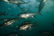 Thunnus maccoyii (Southern Bluefin Tuna)