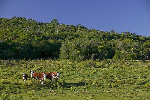 South America, Uruguay, Rocha, Laguna Negra, forest, grassland, cattle
