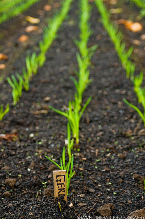 Organic onions sprouting at Spring Hill Farm in Albany, Oregon. Onions are a fall and winter crop.