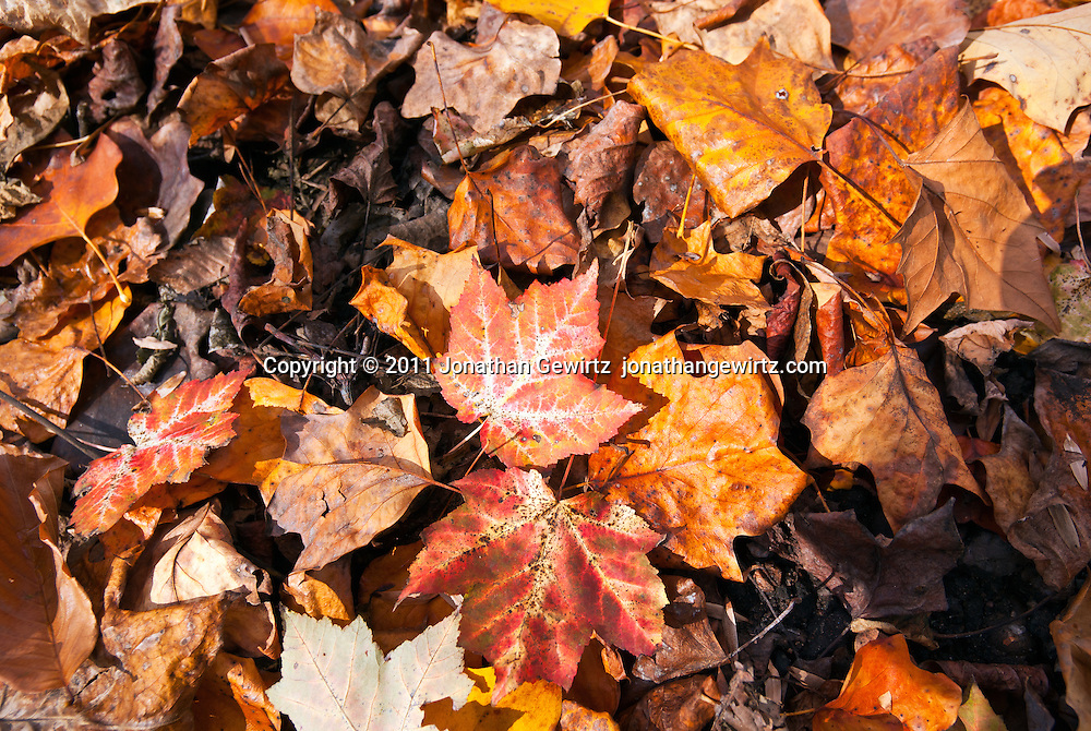 Fallen autumn leaves in various bright colors lie on the ground. WATERMARKS WILL NOT APPEAR ON PRINTS OR LICENSED IMAGES.