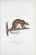 The prehensile-tailed hutia (Mysateles prehensilis [Here as Capromys prehensilis]) is a species of rodent in the family Capromyidae endemic to Cuba. It is an arboreal foliovore, From the book Histoire physique, politique et naturelle de l'ile de Cuba [Physical, political and natural history of the island of Cuba] by  Sagra, Ramón de la, 1798-1871; Orbigny, Alcide Dessalines d', 1802-1857 Publication date 1838 Publisher Paris : A. Bertrand