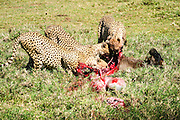 Cheetah (Acinonyx jubatus) Eating the carcass of a wildebeest Photographed in Africa, Kenya, Samburu National Reserve,
