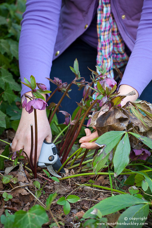 Cutting back old hellebore foliage in early spring to reveal flowers