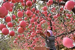 October 14, 2017 - Shandong, China - A woman picks apples at Jiaojiashangzhuang Village of Zhongzhuang Township in Yiyuan County, east China. More than 300,000 mu (20,000 hectare) apple entered into the harvest season recently. (Credit Image: © Zhao Dongshan/Xinhua via ZUMA Wire)