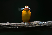 Oriental dwarf kingfisher, Ceyx erithacus, catching and eating a fish at Tongbiguan nature reserve, Dehong Prefecture, Yunnan Province, China