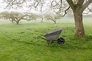 Foggy morning apple orchard in meadow with metal wheelbarrow in garden, Cherhill, Wiltshire, England, UK