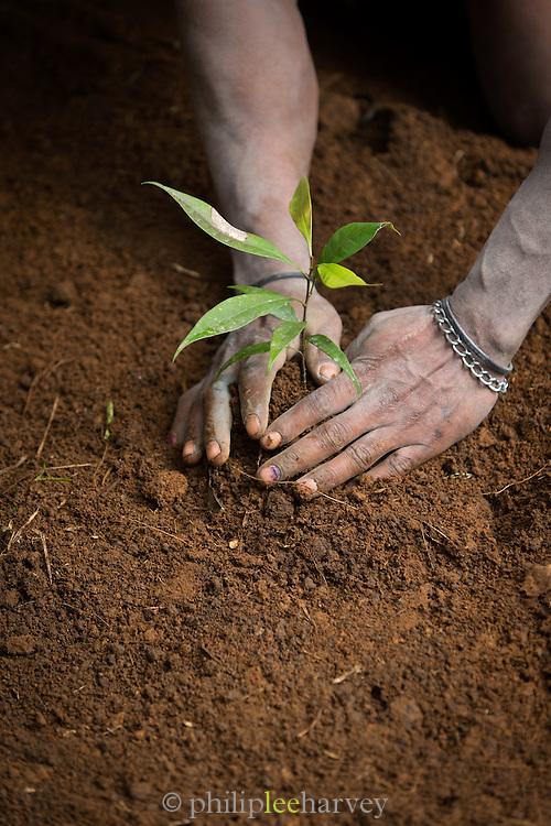 Tree planting as part of Kusumba Tribe funeral ritual demonstration, Kogie, Rondon Ridge, Mount Hagen, Western Highlands Province, Papua New Guinea