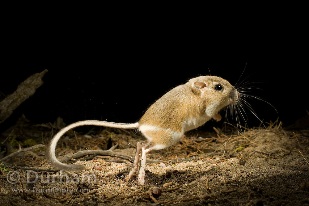 An ord's kangaroo rat (Dipodomys ordii) jumping at night. Ochoco National Forest, Oregon.