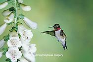01162-055.06 Ruby-throated Hummingbird (Archilochus colubris) male at Foxglove (Digitalis sp.)  Shelby Co.  IL