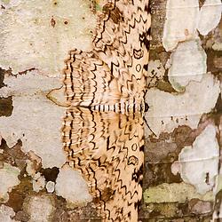 """""""Mariposa-imperador (Thysania agrippina) fotografado em Linhares, Espírito Santo -  Sudeste do Brasil. Bioma Mata Atlântica. Registro feito em 2013.<br /> <br /> <br /> <br /> ENGLISH: White witch photographed in Linhares, Espírito Santo - Southeast of Brazil. Atlantic Forest Biome. Picture made in 2013."""""""