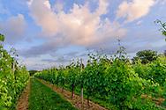 Osprey Dominion Vineyards, Peconic, New York