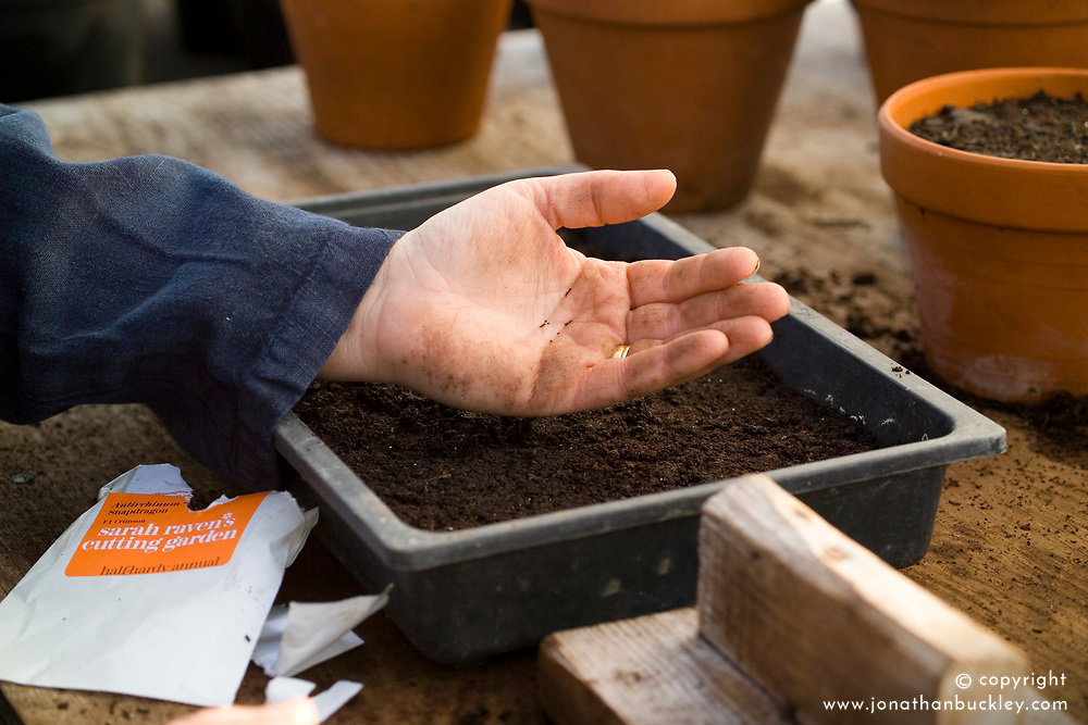 Spring sowing of half hardy annuals into seed tray - Antirrhinum or Snapdragons