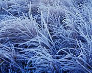 Frosted vegetation at Virgin Valley Hot Springs, Sheldon National Wildlife Refuge, Nevada.