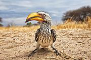 Yellow-billed Hornbill {Tockus leucomelas}, Deception Valley, Grand Central Kahlahari Game Reserve, Botswana.