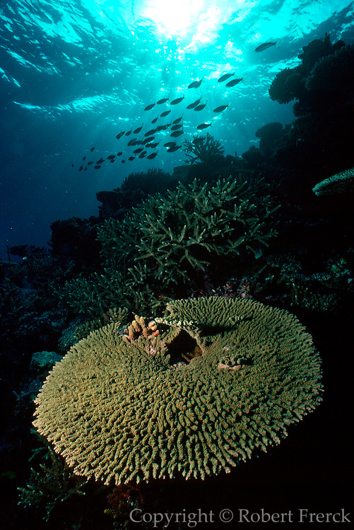 UNDERWATER MARINE LIFE WEST PACIFIC; Fiji Reef environment with hard and soft corals and schools of fish