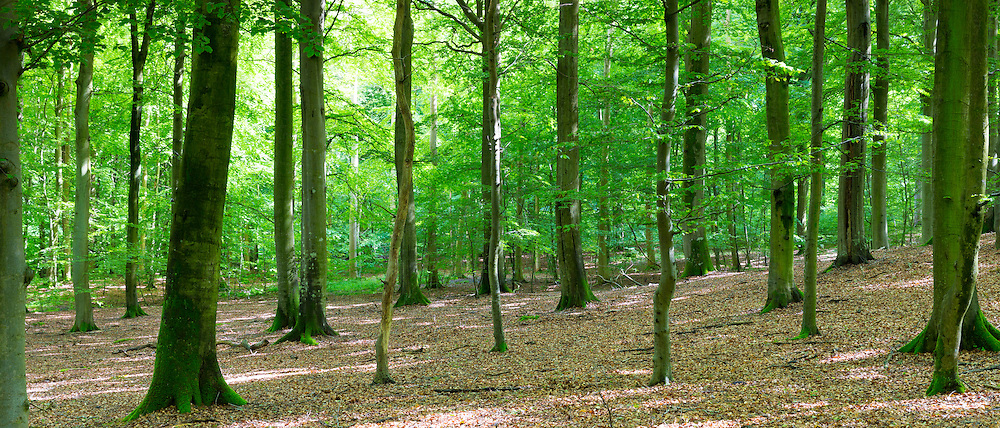 Picturesque woodland scene and ancient forest of tall trees in Denmark