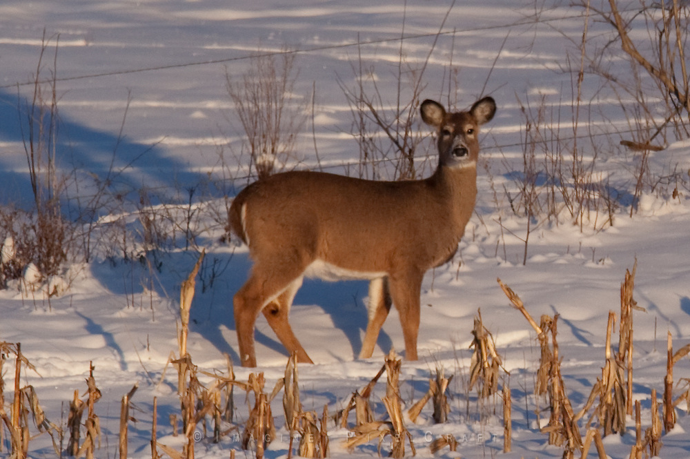 A deer foraging for food on a late winter afternoon pauses to look out for danger.