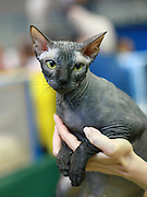 Pedigree Cat - Sphynx Hairless cat also known as Canadian Hairless is a rare breed of cat known for its lack of a coat.