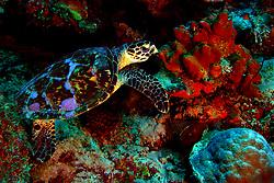 An endangered hawksbill turtle nibbles on a sponge off Klein Bonaire, NA.